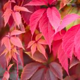 Red autumn ivy. Leaves close up natural defocused background stock image