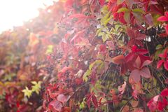 Red autumn ivy. Leaves close up natural defocused background stock images