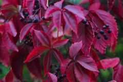 Red autumn ivy. Leaves close up natural defocused background stock photo