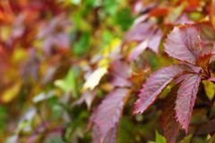 Red autumn ivy. Leaves close up natural defocused background royalty free stock photo