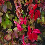 Red autumn ivy. Leaves close up natural defocused background royalty free stock photography