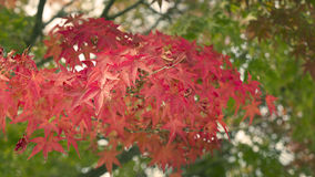 Red autumn Japanese leaves Royalty Free Stock Photo