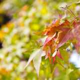 Red autumn Japanese leaves Royalty Free Stock Image