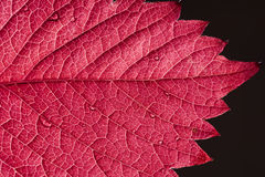 Red autumn leaf. Macro with waterdrops Stock Image
