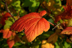 Red Autumn leaf. Redcurrant shrub, autumnal foliage, beautiful, garden, colourful, leaves, flowers, green, macro leaf, fabulous Stock Photography