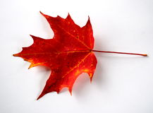 Red Autumn Leaf Royalty Free Stock Photo