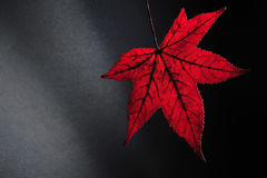 Red autumn leaf. Against black background royalty free stock images