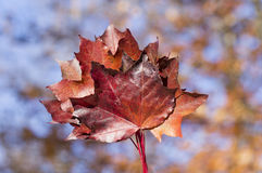 Red autumn leaf with autumn colors in bokeh background Stock Image