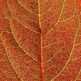 Red autumn leaf background Royalty Free Stock Image