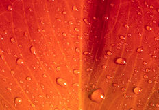 Red autumn leaf. Background with water drops Stock Photos