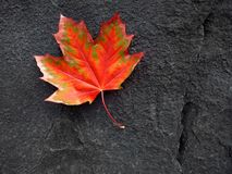 Red Autumn Leaf and Black Rock. Detail of red autumn fall maple leaf on a black rock Royalty Free Stock Photo