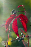 Red autumn leaf Royalty Free Stock Photography