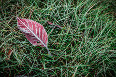 Red autumn leaf covered with frost on grass - top view Royalty Free Stock Images