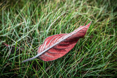 Red autumn leaf covered with frost on grass - top view Stock Images