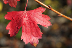 Red autumn leaf of  currant Stock Photos