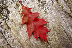 Red Autumn Leaf on Driftwood Royalty Free Stock Image