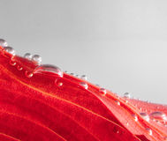 Red autumn leaf with drops Stock Images