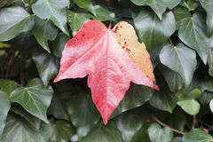 Red autumn leaf between green leaves Stock Photography
