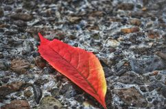Red autumn leaf. On the ground Stock Photography