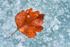 Red autumn leaf on the ice Royalty Free Stock Images