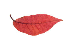 Red autumn leaf isolated on white Royalty Free Stock Image