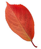 Red autumn leaf Royalty Free Stock Image