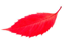 Red autumn leaf isolated on white background Stock Photography