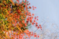 Red autumn leaf lighted up by sunshine in Obara, Nagoya, Japan.  Royalty Free Stock Image