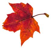 Red autumn leaf of maple tree isolated. On white background stock image