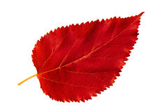 Red autumn leaf mulberry on white background Royalty Free Stock Photos