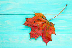 Red autumn leaf over blue wooden background Royalty Free Stock Images