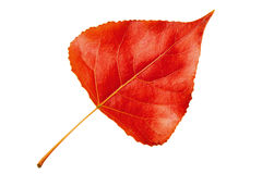 Red autumn leaf poplar white backgroun Stock Photography