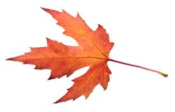 Red autumn leaf of silver maple or Acer saccharinum isolated on white Royalty Free Stock Photos