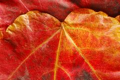 Red  autumn leaf texture Stock Images