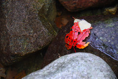 Red Autumn Leaf in water. A bright red autumn leaf in a rocky pool of water Stock Photo