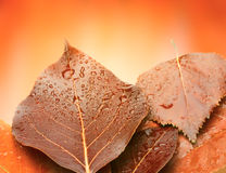 Red autumn leaf with water drops Royalty Free Stock Images