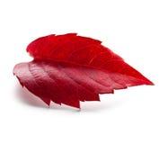 Red Autumn leaf. Autumn leaf on white background Royalty Free Stock Image