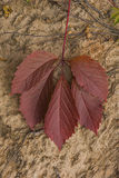 Red autumn leaf of wild grape. S against sand Royalty Free Stock Photography