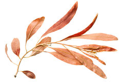 Red autumn leaf willow on white backgroun Royalty Free Stock Images