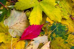 Red autumn leaf on yellow leaves. Close up Royalty Free Stock Photos