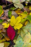 Red autumn leaf on yellow leaves. Close up Royalty Free Stock Photo