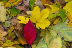 Red autumn leaf on yellow leaves. Close up Royalty Free Stock Photography