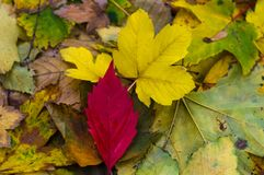 Red autumn leaf on yellow leaves. Close up Stock Image