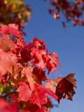 Red autumn leafs Royalty Free Stock Photo