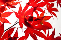 Red Autumn Leaves. A Selective focus photo of a group of red japanese maple leaves on a white background Stock Photo