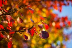 Red Autumn Leaves. By the blue sky wonderful red autumn leaves Stock Image
