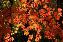 Red autumn leaves. A branch of red leaves caught in the sunlight. autumn or fall Stock Photography