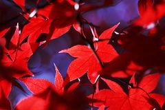 Red Autumn Leaves. On the Tree with shadows Royalty Free Stock Image