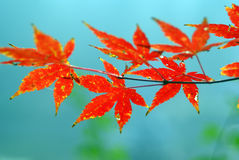 Red autumn leaves. Closeup of red autumn leaves with blue sky background royalty free stock image