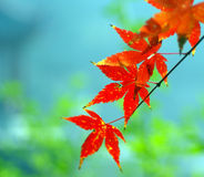 Red autumn leaves. On tree or plant with blue and green background Royalty Free Stock Photos